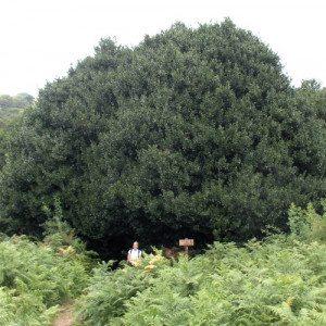 Escursione alla scoperta degli agrifogli giganti - Madonie, Sicilia