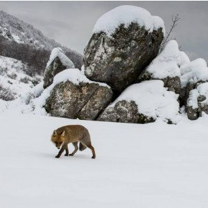 Escursione invernale alla ricerca degli animali selvatici - Abruzzo