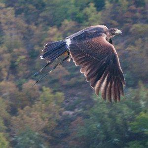 Esperienza di falconeria - Norcia